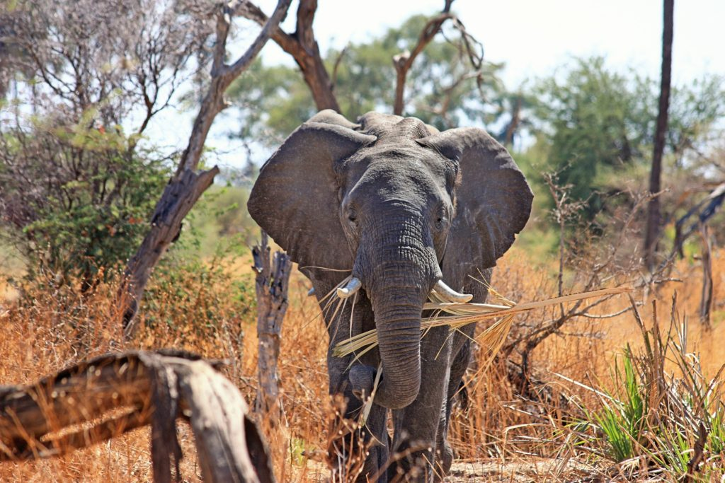 Elephant holding flax with trunk