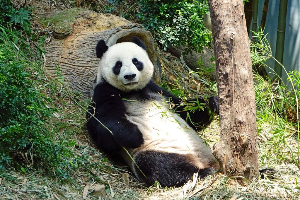 Gaint Panda relaxing next to tree