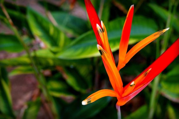 Gorgeous Heliconia Psittacorum growing in the Amazon