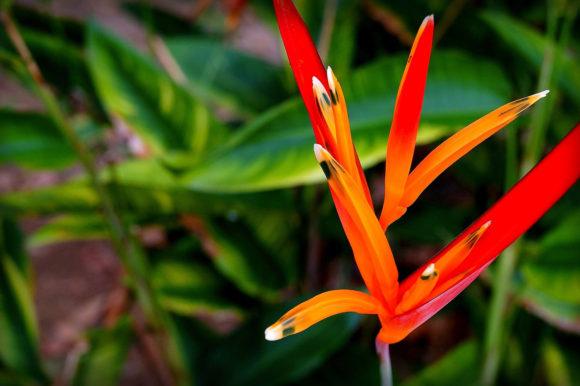 Heliconia psittacorum Amazon