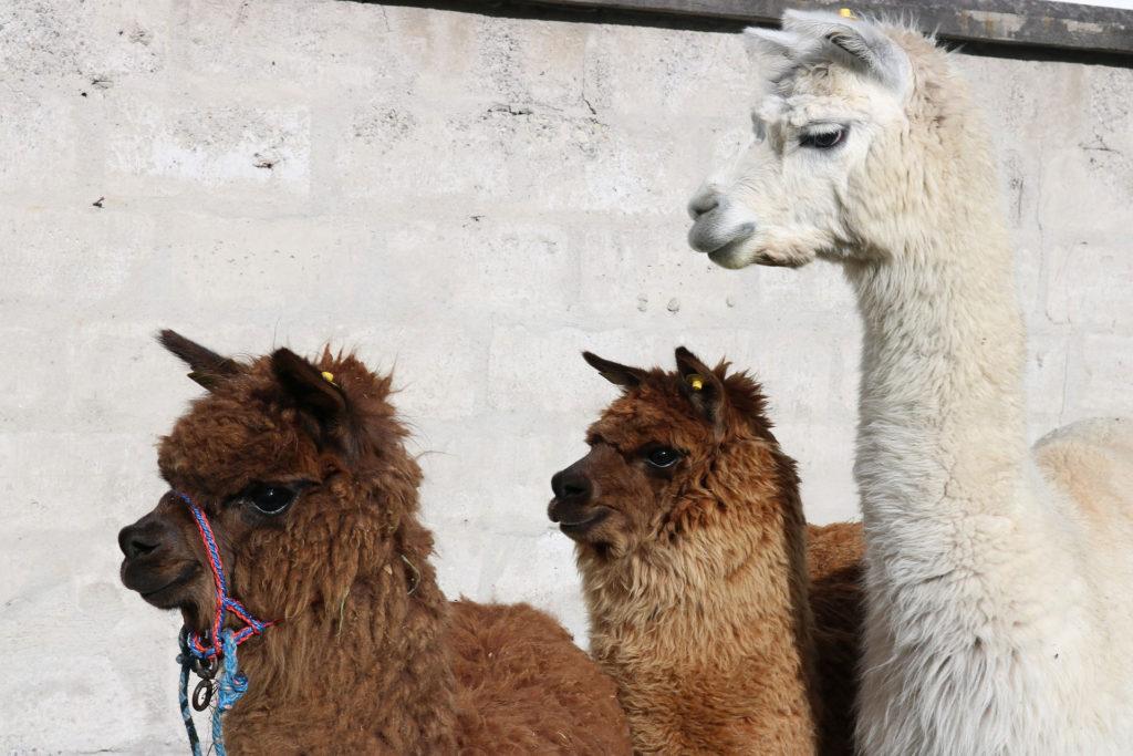 Llamas Otavalos Ecuador