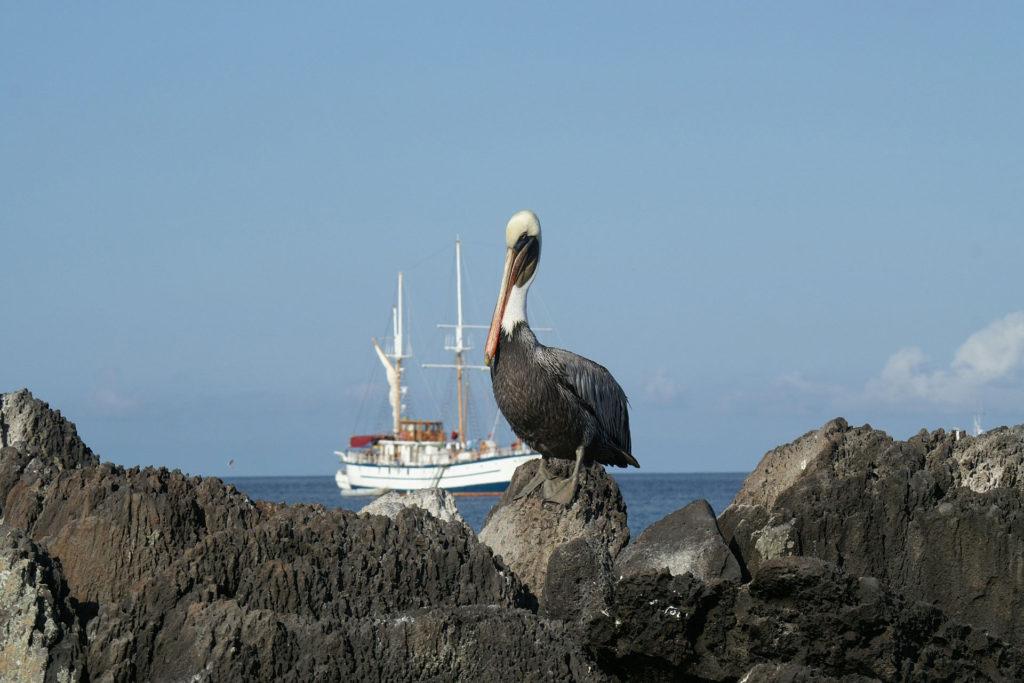 Pelican Galapagos Ecuador