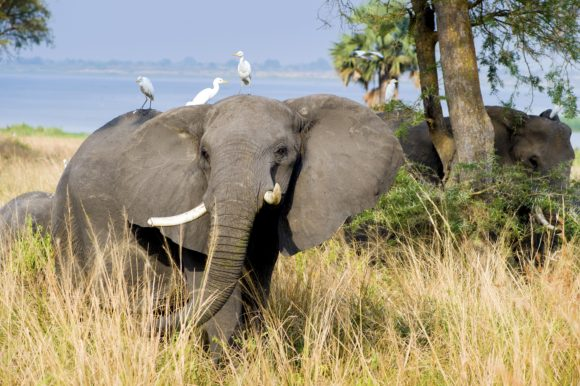 Birds catching a ride on an elephant