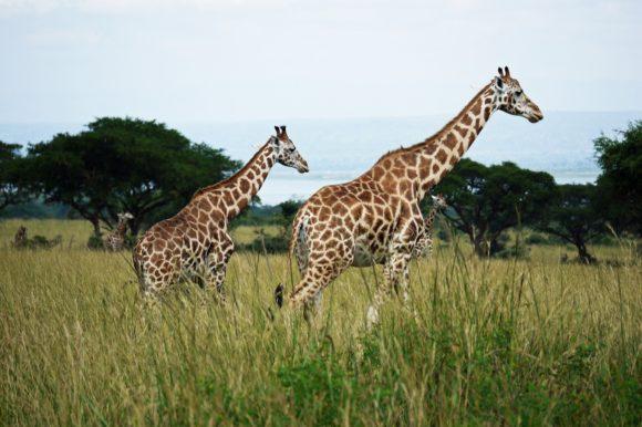 Two giraffes walking in Uganda