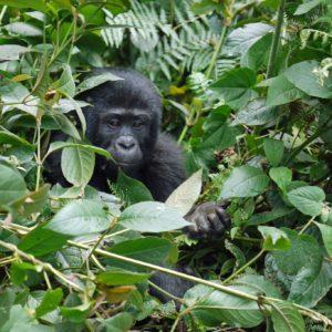 Ugandan Wildlife & Gorilla Conservation Tour