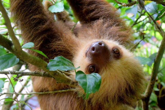 Sloth Uganda