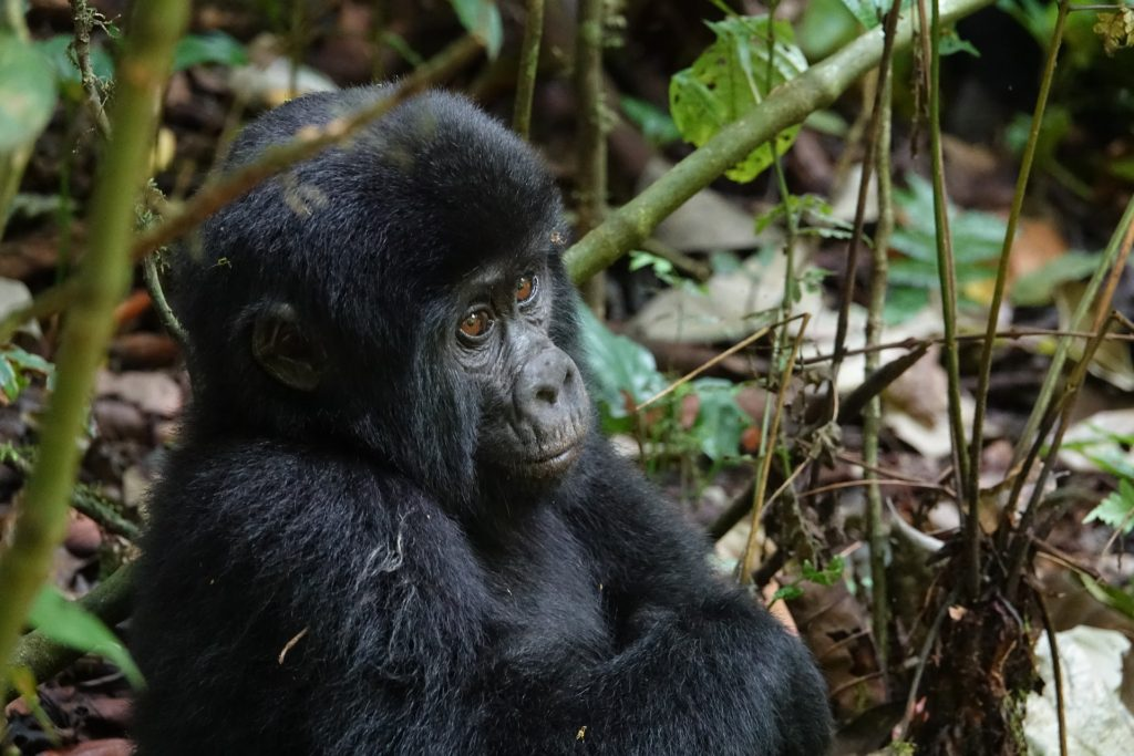Young gorilla sitting under a tree