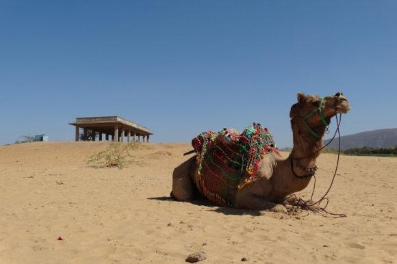 Camel in Pushkar India