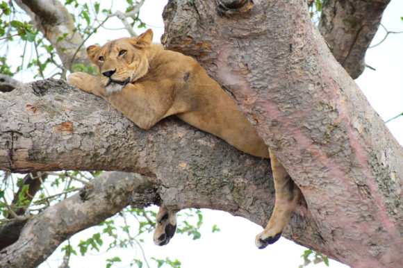 ishasha the lion sleeping in a tree