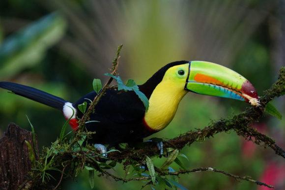 Keel Billed Toucan Costa Rica