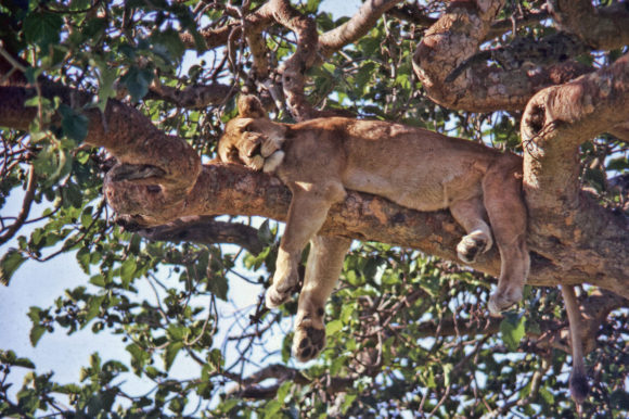 Sleeping lion in a tree