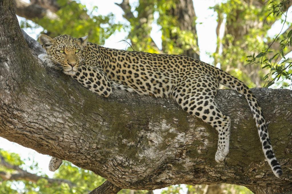 Leopard lying in a tree in Botswana