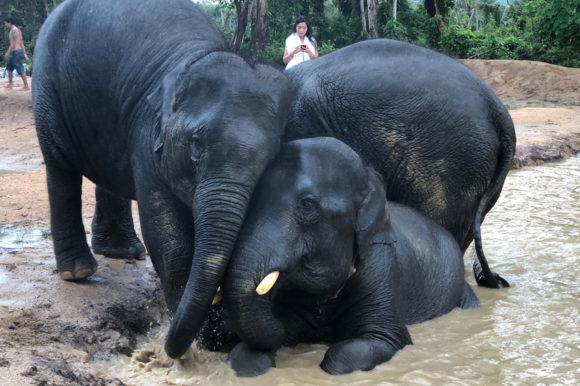 Elephants in Koh Samui
