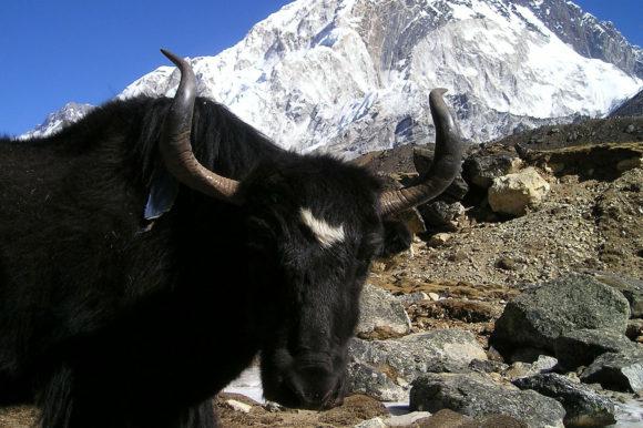 Bull Himalayas Nepal