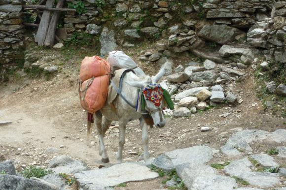Donkey Nepal
