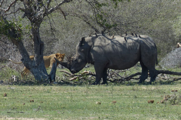 Rhino in Kruger Park, South Africa