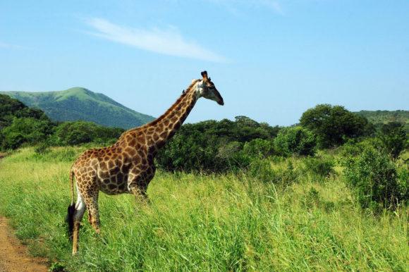 Giraffe in Kruger Park, South Africa