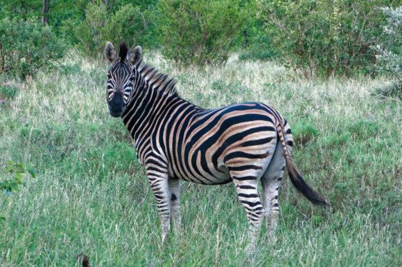 Zebra in Kruger Park, South Africa