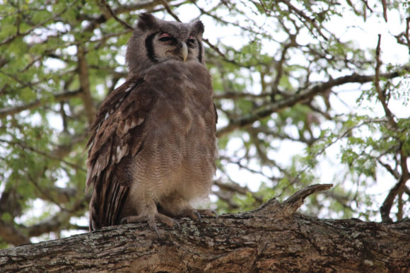 Verreauxs Owl in Kruger Park, South Africa