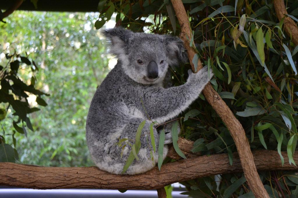 Koala, Cleland Wildlife Park, Adelaide
