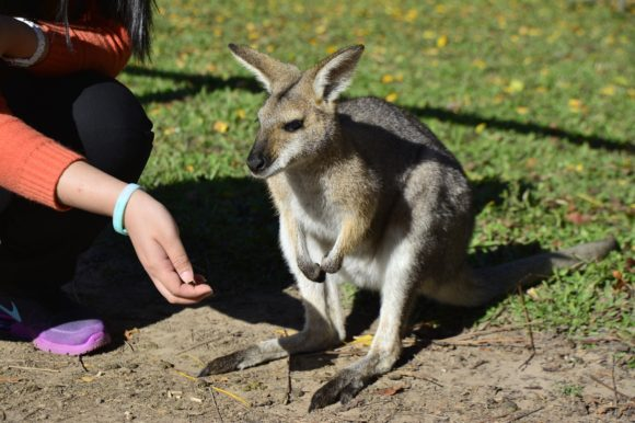 Brisbane wallaby