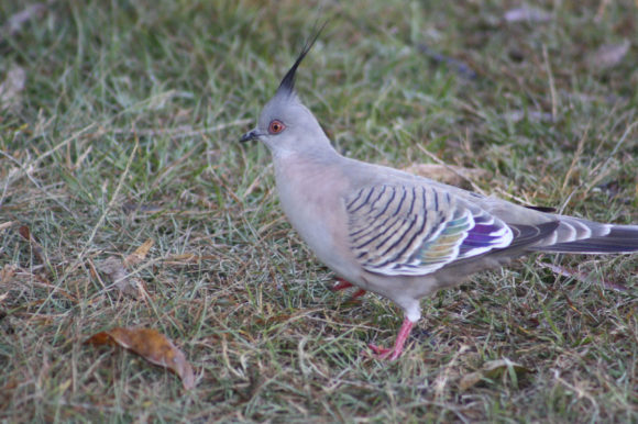 Crested Pigeon at Springbrook National Park, Australia