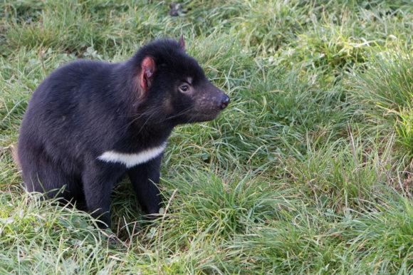 Tasmanian Devil, Cleland Wildlife Park, Adelaide