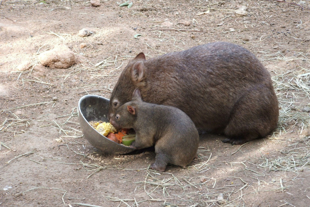 Wombats eating in Adelaide