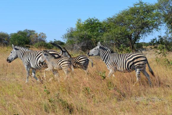 Zebra Zimbabwe